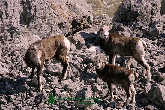 Stone Sheep, Northern British Columbia, Canada CM11-03