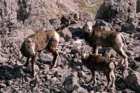 Stone Sheep, Northern British Columbia, Canada CM11-03