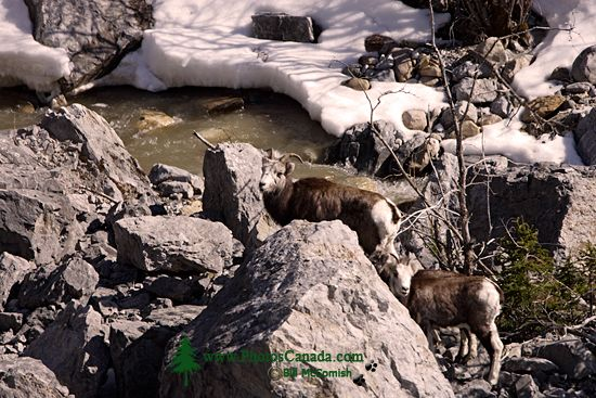 Stone Sheep and Lamb, Northern British Columbia, Canada CM11-04