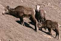 Stone Sheep, Northern British Columbia, Canada CM11-05