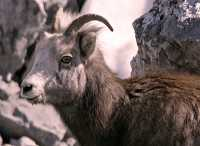 Stone Sheep and Lamb, Northern British Columbia, Canada CM11-07