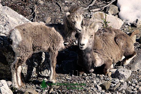 Stone Sheep, Northern British Columbia, Canada CM11-08