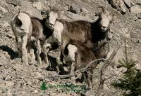 Highlight for Album: Stone Sheep Photos, Northern British Columbia, Canada, Canadian Wildlife Stock Photos