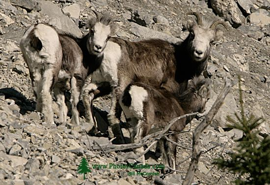 Stone Sheep Family, Northern British Columbia, Canada CM11-09