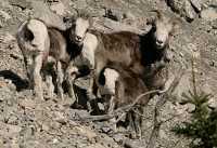 Stone Sheep Family, Northern British Columbia, Canada CM11-09