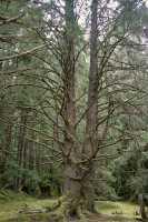 Tanu, T'aanuu Lnagaay, Sitka Spruce, Haida Heritage Site, Gwaii Haanas National Park,   British Columbia, Canada CM11-13