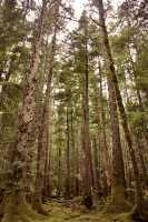 Tanu, T'aanuu Lnagaay, Sitka Spruce, Haida Heritage Site, Gwaii Haanas National Park,   British Columbia, Canada CM11-12