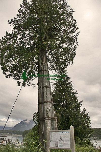 Tofino, 800 Year Old Elk Cedar,, Vancouver Island, British Columbia, Canada CM1-05