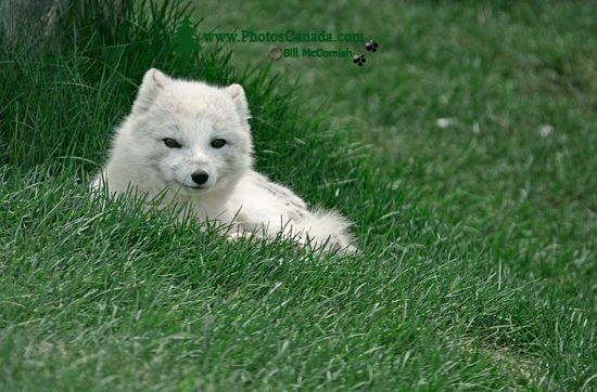 Artic Fox, Toronto Zoo, Ontario, Canada CM11-006