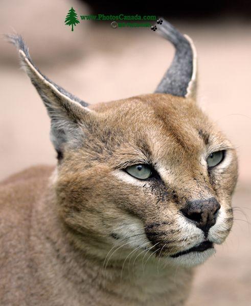 Caracal Lynx, Toronto Zoo, Ontario, Canada CM11-007