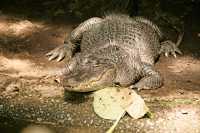 Crocodile, Toronto Zoo, Ontario, Canada CM11-020