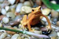 Yellow Frog, Toronto Zoo, Ontario, Canada CM11-019