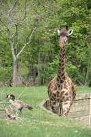Giraffe, Toronto Zoo, Ontario, Canada CM11-024