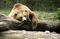 Grizzly Bear, Toronto Zoo, Ontario, Canada CM11-033