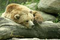 Grizzly Bear, Toronto Zoo, Ontario, Canada CM11-034