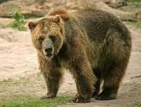 Grizzly Bear, Toronto Zoo, Ontario, Canada CM11-035
