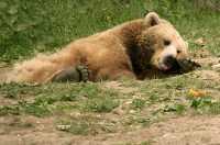 Grizzly Bear, Toronto Zoo, Ontario, Canada CM11-036