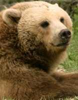 Grizzly Bear, Toronto Zoo, Ontario, Canada CM11-037