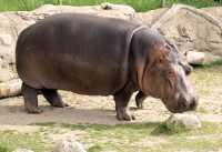 Hippopotamus, Toronto Zoo, Ontario, Canada CM11-017