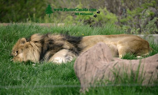 Lion, Toronto Zoo, Ontario, Canada CM11-005