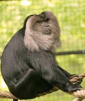 Lion Tailed Macaque, Toronto Zoo, Ontario, Canada CM11-027