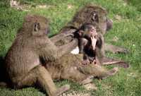 Monkeys, Toronto Zoo, Ontario, Canada CM11-010