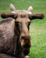 Moose, Toronto Zoo, Ontario, Canada CM11-038