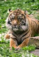 Siberian Tiger, Toronto Zoo, Ontario, Canada CM11-028