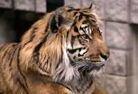 Siberian Tiger, Toronto Zoo, Ontario, Canada CM11-029