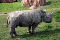 White Rhinoceros, Toronto Zoo, Ontario, Canada CM11-013