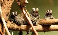 White Tufted Eared Marmoset,  Toronto Zoo, Ontario, Canada CM11-021