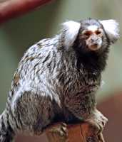 White Tufted Eared Marmoset, Toronto Zoo, Ontario, Canada CM11-022