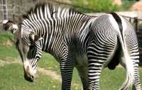 Zebra, Toronto Zoo, Ontario, Canada CM11-002