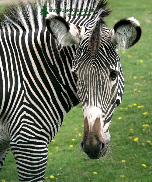 Zebra, Toronto Zoo, Ontario, Canada CM11-003