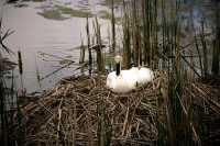 Toronto Zoo, Trumpeter Swan Nesting, May 2010 CM11-012