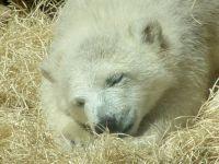 Polar Bear Cub, Toronto Zoo, Ontario, Canada  01