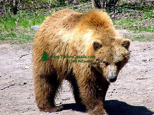 Grizzly Bear, Toronto Zoo, Ontario, Canada  06