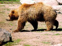 Grizzly Bear, Toronto Zoo, Ontario, Canada  07