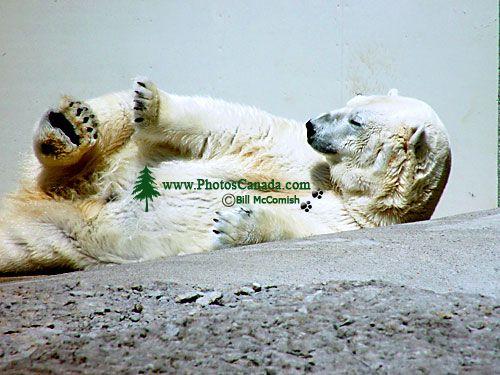 Polar Bear, Toronto Zoo, Ontario, Canada  02