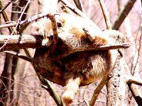 Raccoon, Toronto Zoo, Ontario, Canada  04