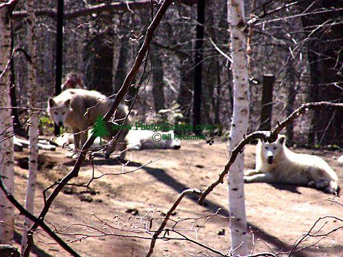White Artic Wolves, Toronto Zoo, Ontario, Canada  03
