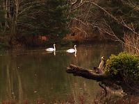 Trumpeter Swans 09