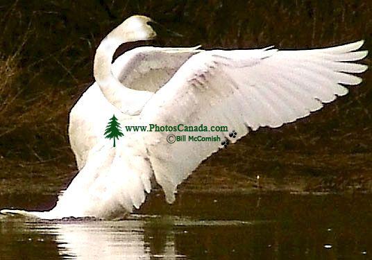 Trumpeter Swan 01