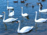 Trumpeter Swans 14