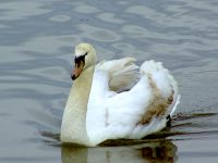 Trumpeter Swans 12