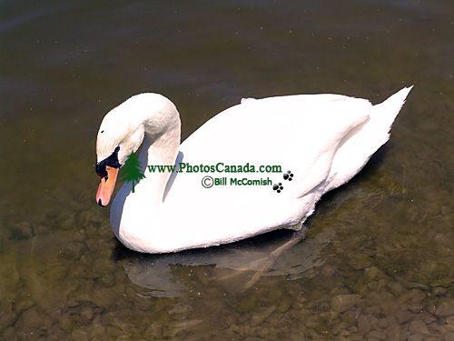 Trumpeter Swan 08