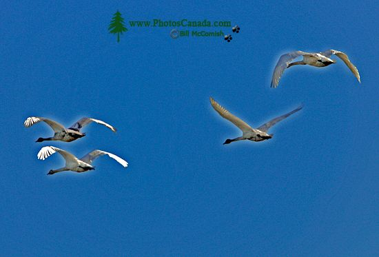 Trumpeter Swan In Flight 001
