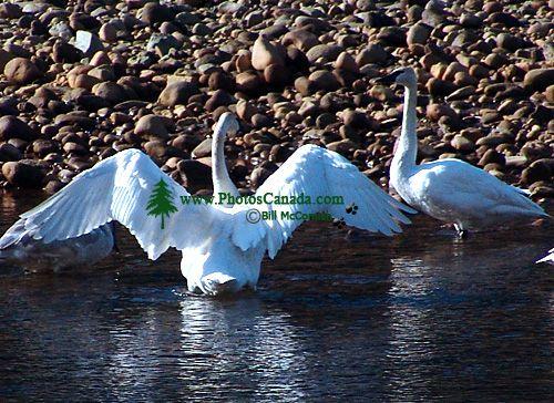 Trumpeter Swan 07