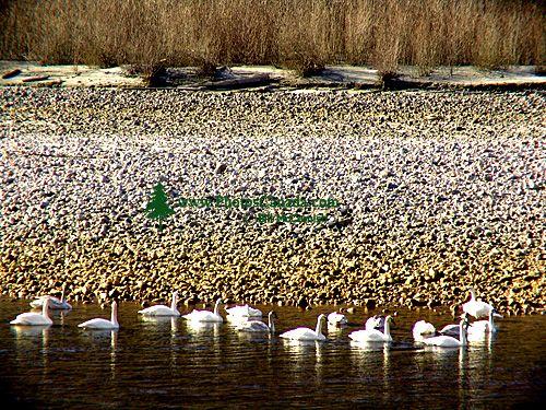 Trumpeter Swan 06