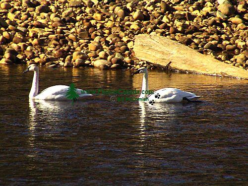 Trumpeter Swan 05